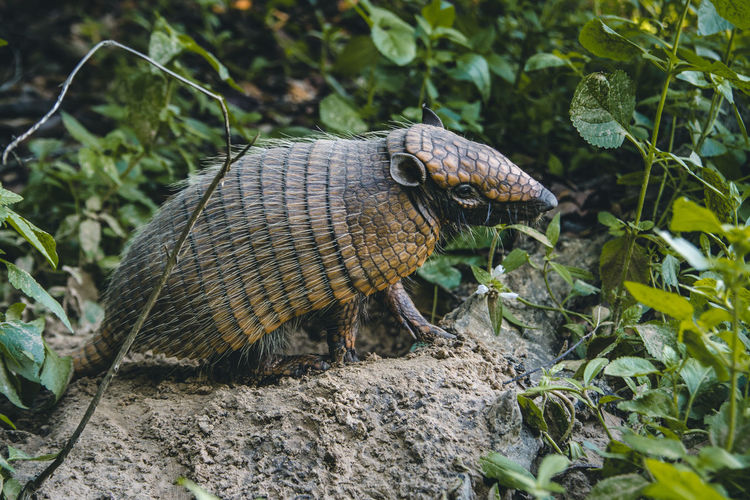 It was really hard to get this close to this armadillo! Adventure Animal Animal Head  Animal Themes Animal Wildlife Animals In The Wild Animals In The Wild Armadillo Close Up Close-up Day Green Color Hair Leaf Mammal Nature No People One Animal Outdoors Plant Reptile Sand Tortoise Shell Wilderness Wildlife The Great Outdoors - 2017 EyeEm Awards EyeEmNewHere
