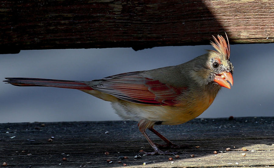 Plumed bird Northern Cardinal Female Animal Animal Themes Animal Wildlife Animals In The Wild Bird Deep Shadows Eating In Shadow Nature Outdoors Profile View