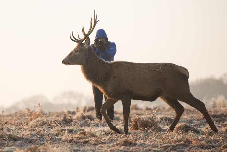 Man photographing deer on field