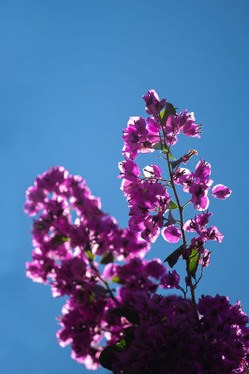 Flowering Plant Flower Plant Freshness Growth Fragility Vulnerability  Beauty In Nature Pink Color Sky Low Angle View Clear Sky Nature Blossom Close-up Tree Purple Springtime No People Day Flower Head Outdoors Bunch Of Flowers Lilac Spring