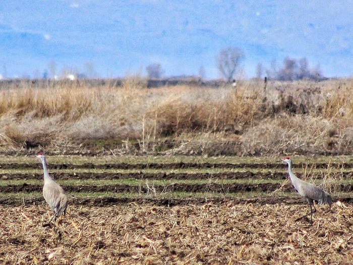 Sandhill Cranes Bird Wildlife Nature