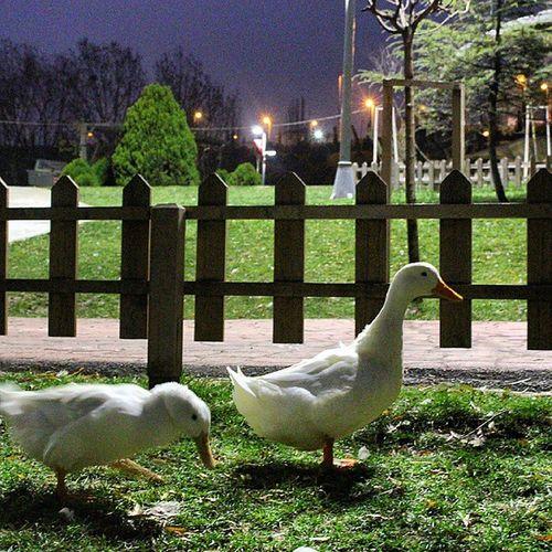 Duck Ordek Nature Dogal Dogadan Animal