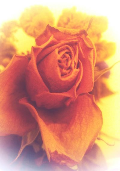 Flower Rose - Flower Nature No People Fragility Close-up Beauty In Nature Flower Head Day Indoors  Sky Soft Focus Rose Nature_collection Beautiful Flower Close Up Yellow Faded Beauty Faded Rose Beauty In Nature Soft Orange Blossom Soft Background Soft Tones Flower Photography Soft Photography