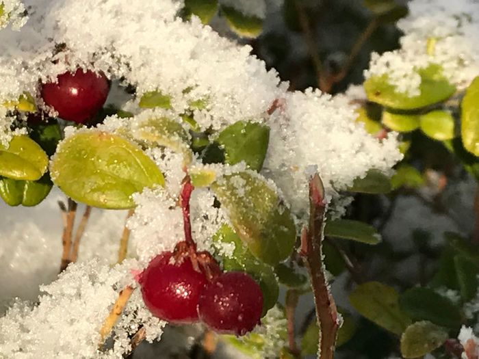 Close-up Nature No People Cold Temperature Frozen Ice Beauty In Nature Plant Day Snow Norway Spydeberg Berries