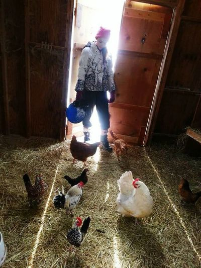 Chickens Are Pets Sunlight Full Length Sunbeam Shadow Farm Life