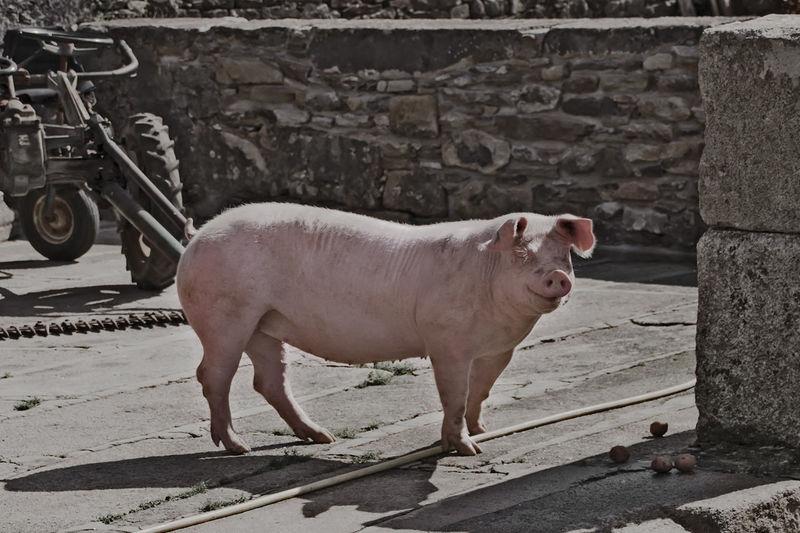 Pig Outdoor