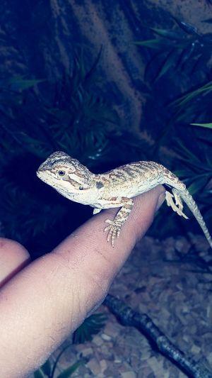Animal Pogona Reptile Baby Reptiles ❤