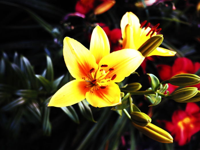 Close-up of yellow lily flowers