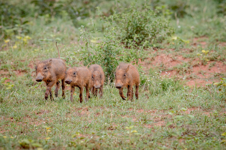 Four Warthog baby piglets running on the grass in the Welgevonden game reserve, South Africa. Animal Themes Animal Animals In The Wild Animal Wildlife Wildlife Wildlife & Nature Wildlife Photography Nature Nature Photography Beauty In Nature Safari Safari Animals Kruger Park Travel Travel Destinations Africa African Safari African Beauty Warthog Piglet Baby Phacochoerus Africanus Boar Pig Mammal
