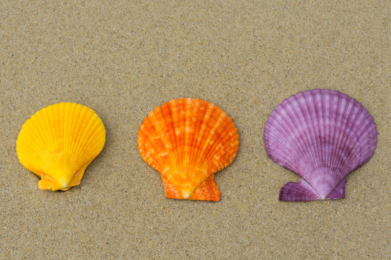 Sea shells in natural vibrant colors on the sand In A Row Natural Seashore Summer Holidays Summertime Travel Vacations Beach Close-up Coast Colorful Marine Nature Orange Color Purple Sand Scallop Sea Seashell Shell Spa Summer Tropical Vibrant Color Yellow