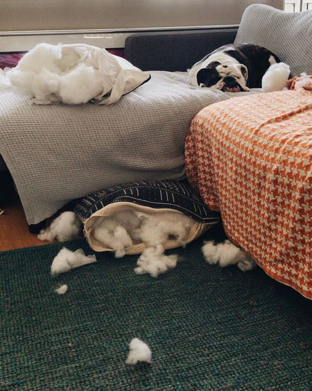 High Angle View Of Dog Sleeping On Sofa With Damaged Pillows At Home