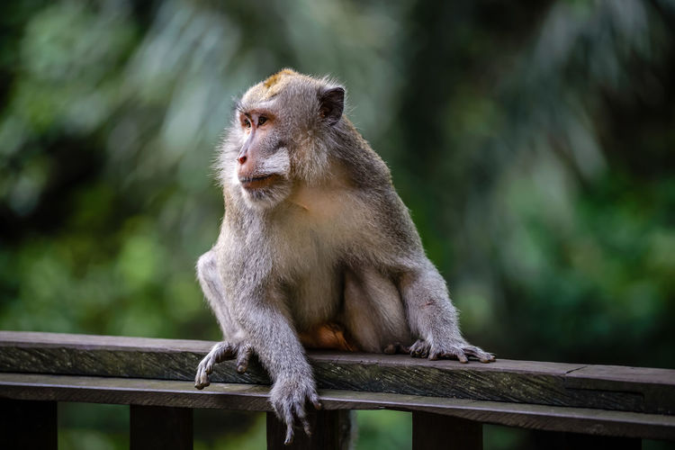 afternoon at Monkey forest Bali, Indonesia South East Asia Nikon Travel Destinations Jungle Animal Wildlife Animals In The Wild Primate Mammal One Animal Focus On Foreground Vertebrate Day Sitting No People Railing Looking Wood - Material Outdoors Looking Away Nature Mouth Open