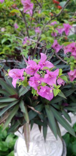 Flower Leaf Pink Color Flower Head Purple Close-up Plant