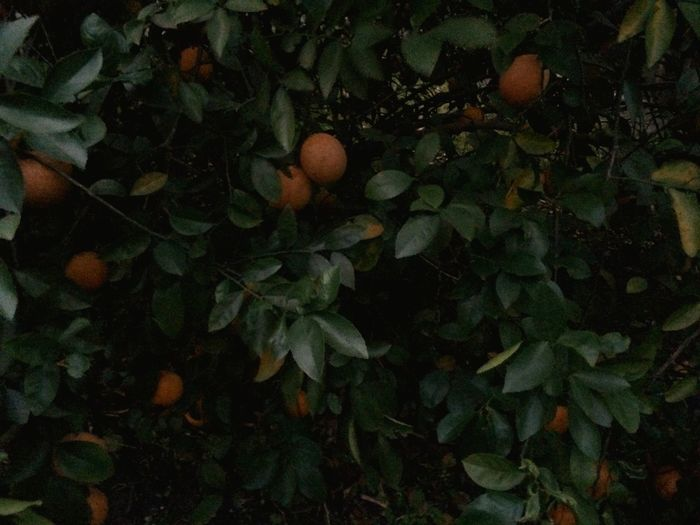 Lemon tree in our back yard. So many lemons, so little time! First Eyeem Photo