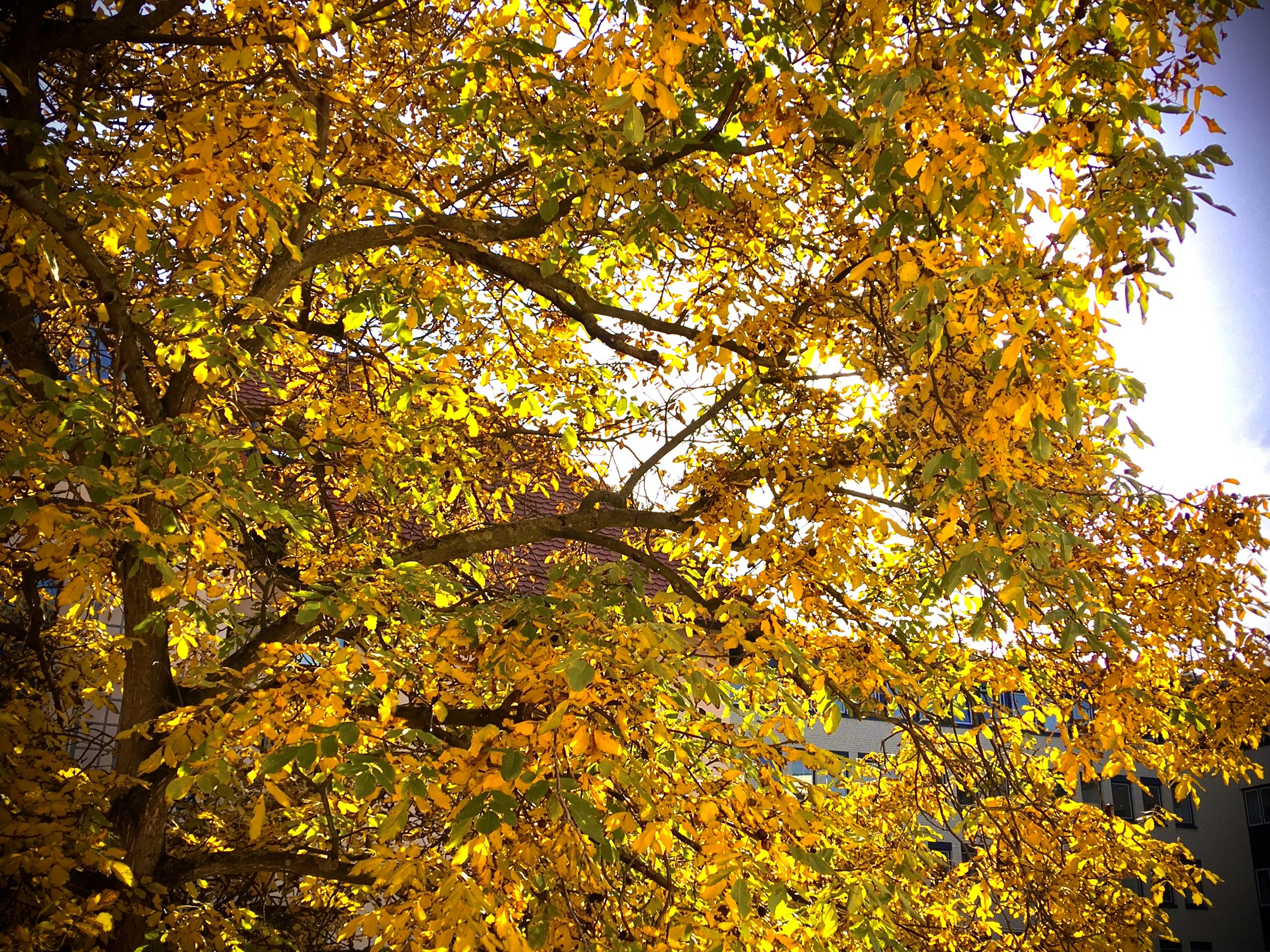 autumn, tree, plant, change, beauty in nature, growth, branch, low angle view, nature, yellow, no people, day, orange color, tranquility, outdoors, leaf, plant part, scenics - nature, sky, sunlight, tree canopy, natural condition, autumn collection, fall