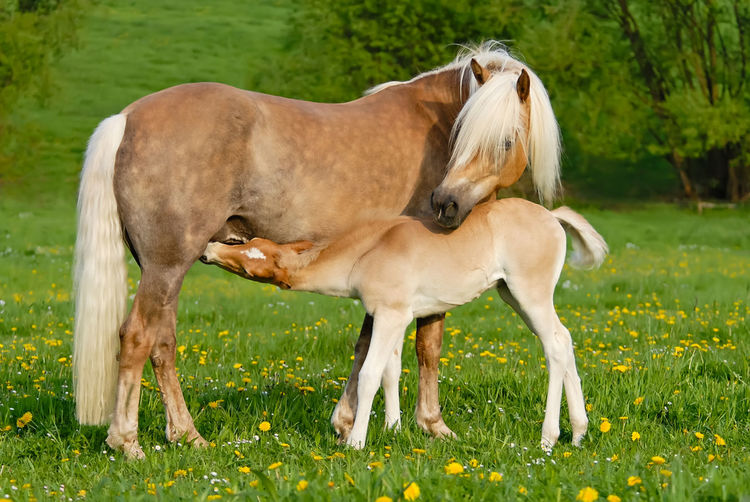 Haflinger horses, cute foal drinking milk from its mother. Blond Chestnut Horse Animal Themes Avelignese Cute Drinking Equine Flaxen Mealy Chestnut Foal Foal And Mare Haffie Haflinger Haflinger Horse Horse Hungry Livestock Mammal Milk Mother Nature Outdoors Pony Suckle Suckling Togetherness Young Animal