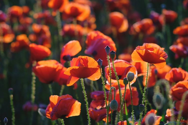 EyeEm Selects Flower Nature Beauty In Nature Outdoors Flower Head Poppy Close-up Beauty Flowers Flowerfield Color light Day Plant Growth No People