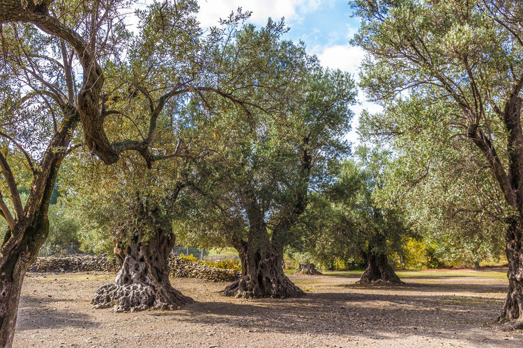 olive trees at the ancient roman city Gortys, south of Crete, Greece Ancient Branches Crete Greece Field GREECE ♥♥ Gortys Greece, Crete Olive Tree Beauty In Nature Branch Clouds And Sky Contemporary Witness Crete Greece Growth Landscape Nature No People Old Scenics Sky Sunlight The Past Tree Witness Of The Past