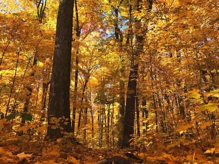 Fall colors Maple Leaves Maple Tree Yellow Yellow Leaves Woods Nature Seasons Leaves Changing