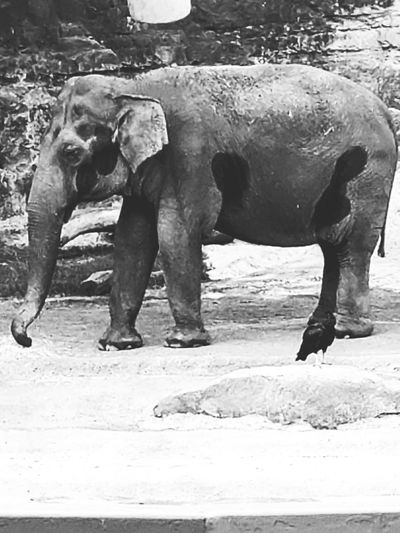 Elephant at the