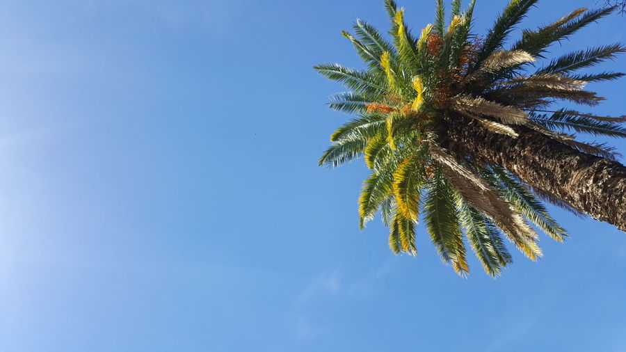 Palm Tree Blue Tree Clear Sky Sky Nature Low Angle View Day Outdoors Summer Colonia Del Sacramento - Uruguay No People Leaf Beauty In Nature