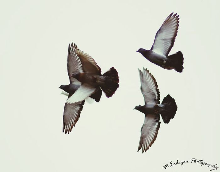 Pigeon Bird  Flying High Pigeons ATTACK Animal_collection
