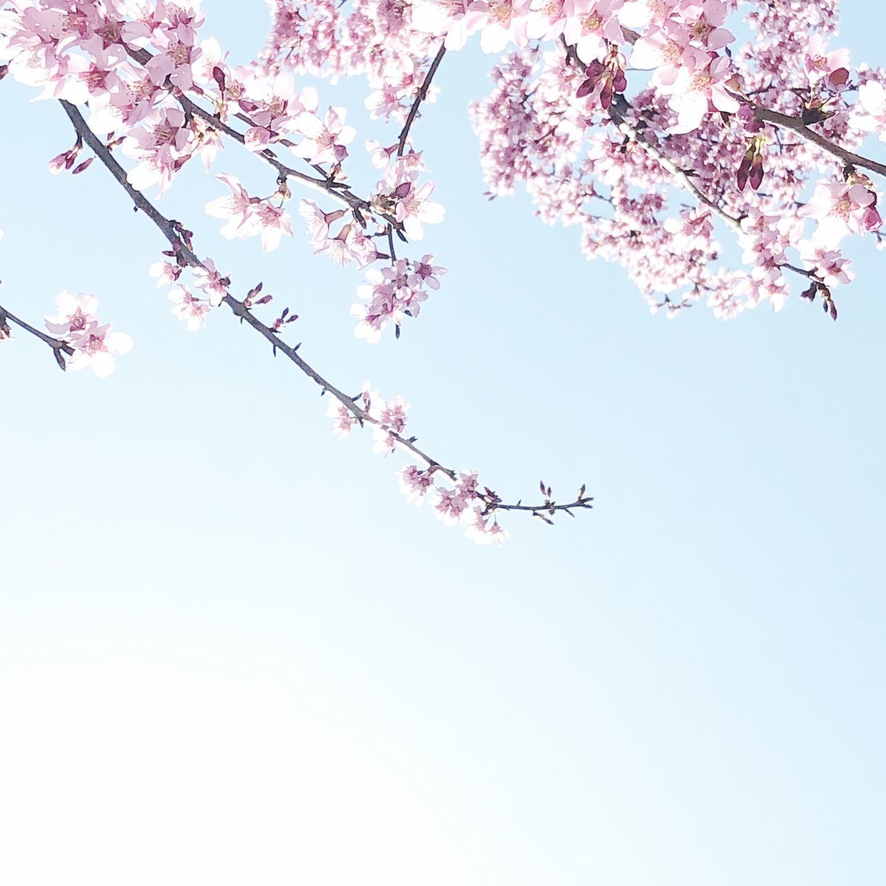 flower, flowering plant, plant, sky, low angle view, pink color, tree, fragility, beauty in nature, blossom, nature, growth, freshness, cherry blossom, branch, springtime, vulnerability, day, no people, cherry tree, outdoors, flower head, spring