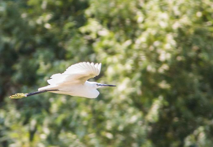 Bird Bird Photography Flying Garzetta Wild Wildlife Wildlife & Nature Wildlife Photography