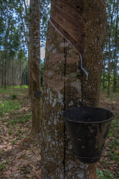 Rubber Tree Farm Beauty In Nature Forest Nature Rubber Rubber Milk Rubber Tree Tree