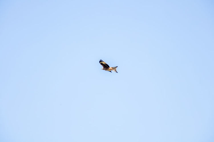 Beauty In Nature Birds Of Prey Blue Sky Countryside Flying Mid-air Nature No People Sweden