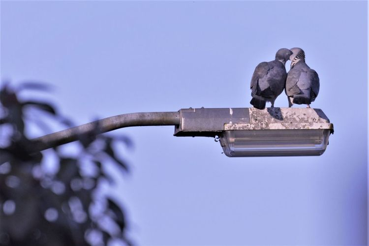 Bird Clear Sky Day Doves In Love Low Angle View Outdoors Perching Pigeon In Love Pigeons
