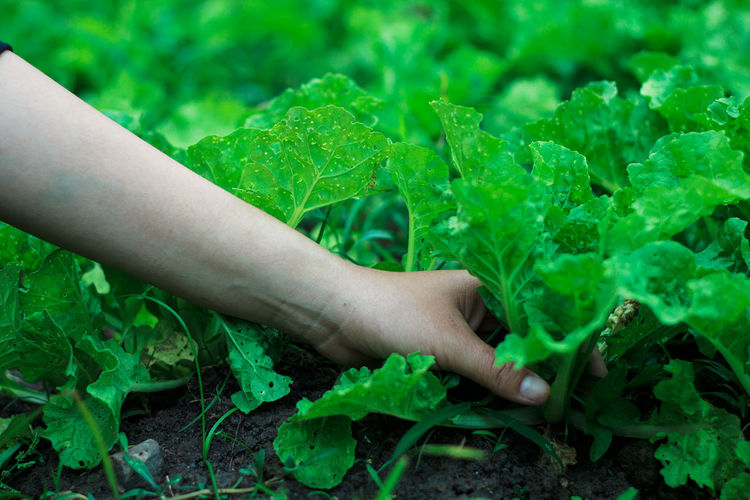 Close-up of hand harvesting vegetables