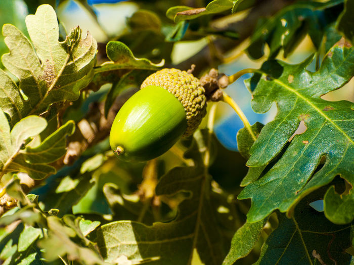 Acorn Green Nature Acorn Beauty In Nature Close-up Dehesa Environment Food Food And Drink Forest Forest Photography Freshness Fruit Green Color Growth Healthy Eating Leaf Nature Oak Oak Acorn Oak Tree Outdoors Quercus Tree