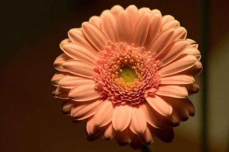 Close-up of coral gerbera daisy blooming indoors