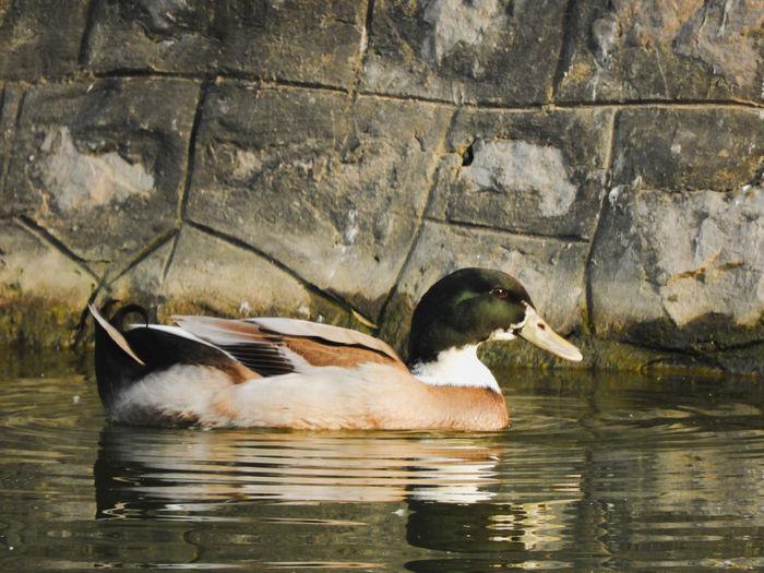 Beak Colourful Eyes Bird Water Swimming Lake Close-up Mallard Duck Duck Water Bird Duckling Swimming Animal Young Bird