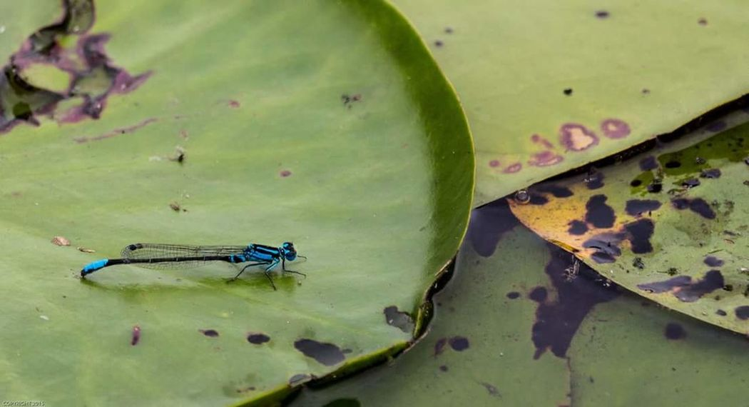Dragonfly Macro Macro Photography Macro Insects Macro Nature Pond Lily Pond Lilypads Out And About Nature Eye4photography  Check This Out Nature Photography