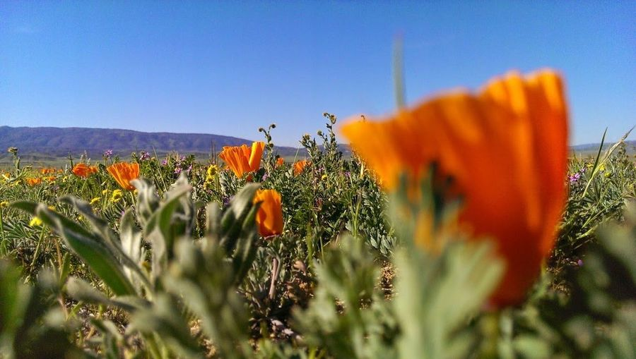 Spring Mornin' Flowers Poppy Flowers Spring Flowers Springtime Desert Beauty Outdoors No People Enjoying Life Close-up Time For Spring Wildflowers
