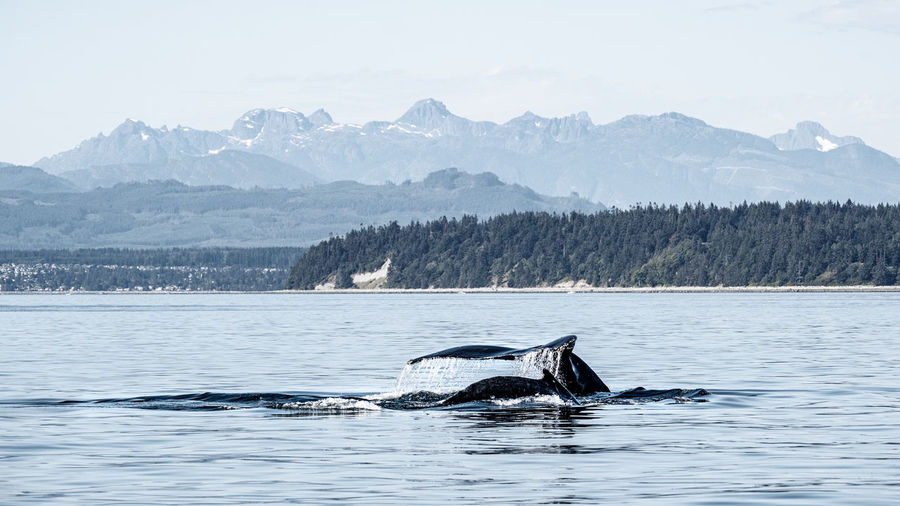 A humpback mother and calf slowly diving on a calm ocean.