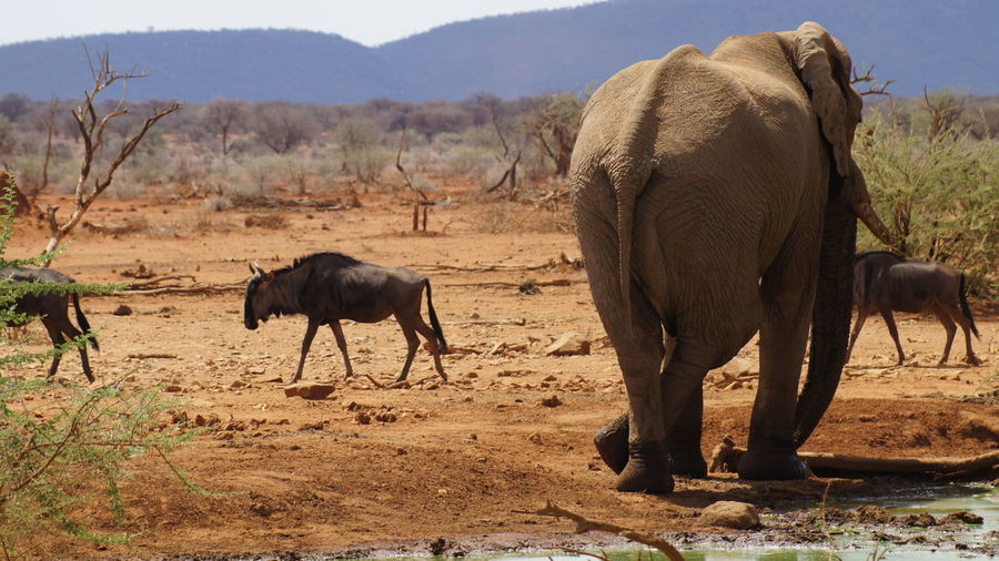 African elephant and wildebeests on field