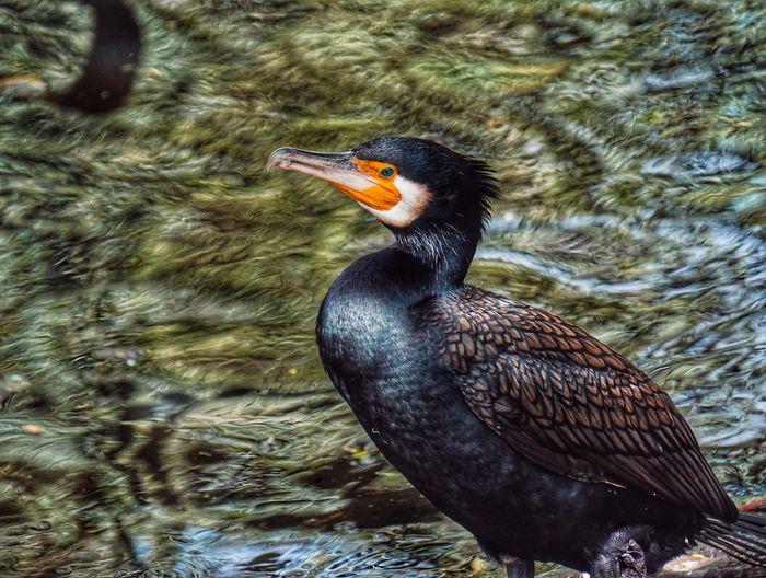 Great Cormorant 2019 Niklas Storm Juli Bird Water Lake Beak Close-up Cormorant  My Best Photo My Best Photo