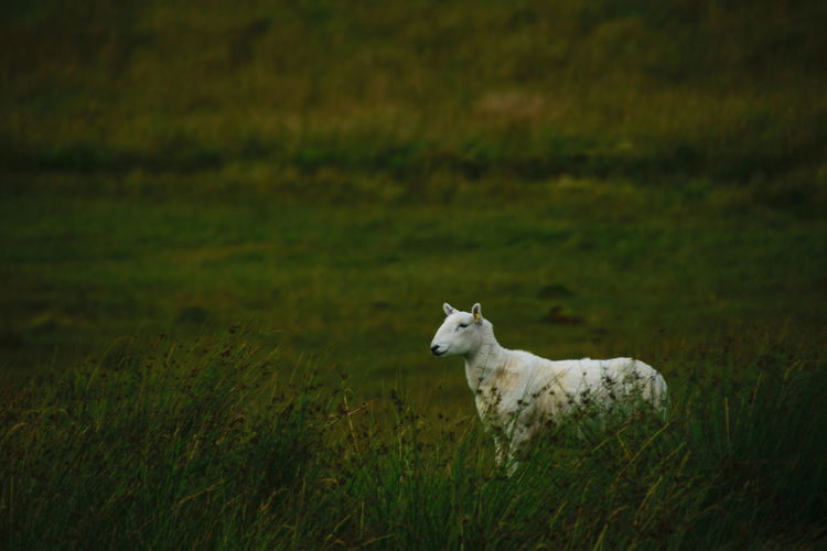Side view of a white sheep on field
