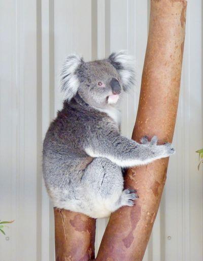 Koala Bear Resting In Tree Koala With Eyes Open National Emblem Animal Themes Close-up In Western Australia Koala Bear Koala In Tree One Animal