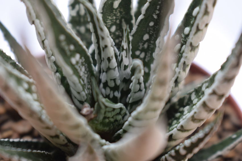 Cactus Cactus Garden Growing Growth Haworthia Thailand Nature Nature Photography Plants Cactus Collection Cactuslover Cactusporn Close Up Close-up Growing Plants Growth Process Haworthia Haworthia Lover Haworthiaattenuata Haworthias Nature_collection Naturelovers Potted Plant