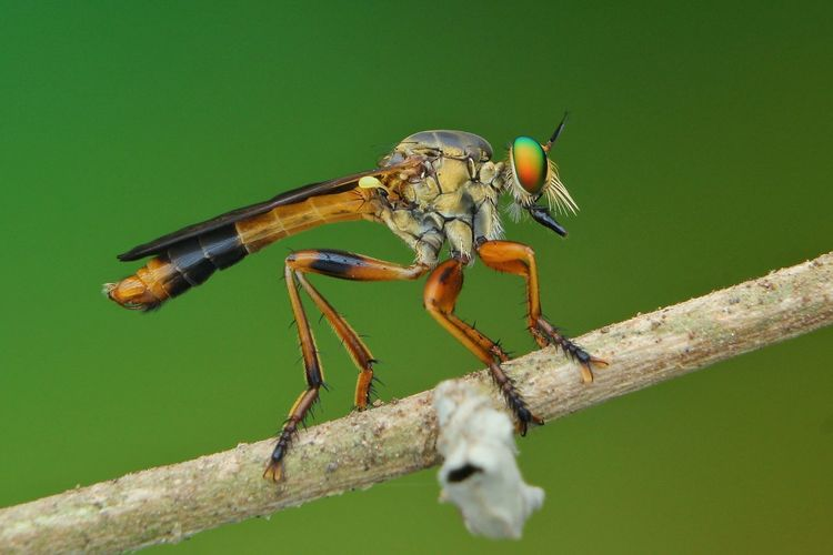 Robberfly on branch with green background