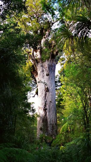 Day Outdoors Nature Tree Green Color Growth Kauri Tree Northland New Zealand The Week On EyeEm