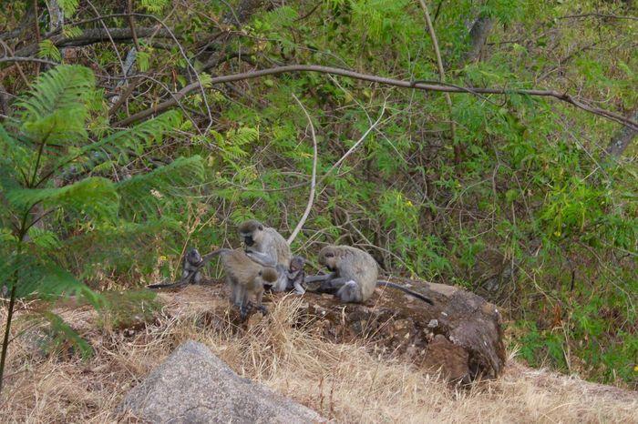 Africa Animal Themes Animals In The Wild Branch Day Forest Green Color Herbivorous Mammal Monkey Monkey Family Nature Outdoors Safari Animals Tanzania Tranquility Tree Tree Trunk Velvet Monkey Vervet Monkey Wildlife WoodLand Zoology