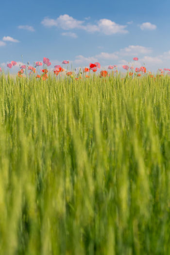 Close-up of poppy field against sky