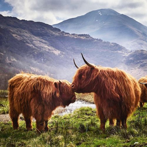 EyeEm Selects Highland Cattle Mountain Livestock Horned Animal Themes Field Domestic Animals Cattle Nature Grass Cow Mountain Range Landscape No People Outdoors Brown Day Sky Beauty In Nature