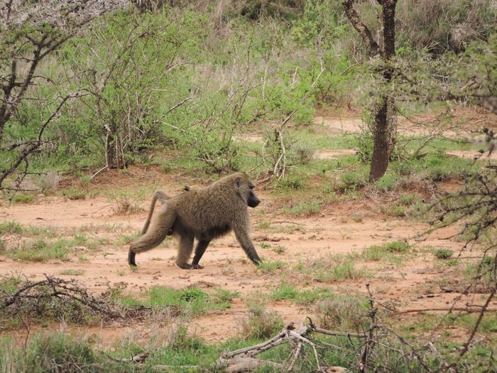 Baboon Walking On Field