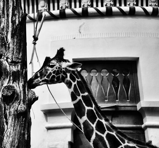 Giraffe Built